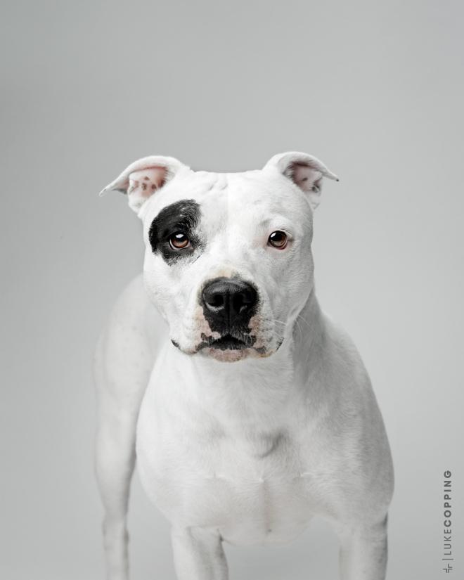Petunia - white adolescent pit bull