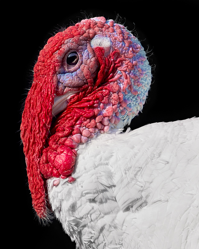Turkey photographed at Asha Farms Animal Sanctuary in Newfane NY