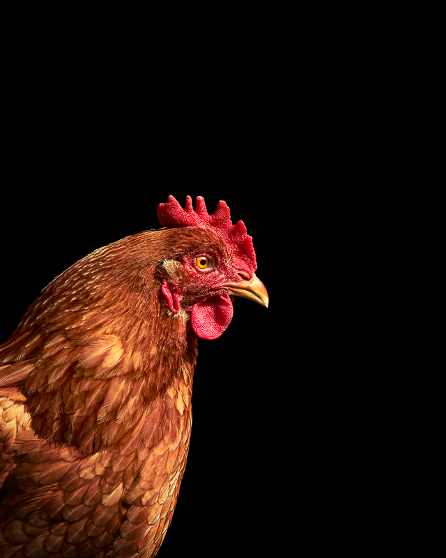 Red Chicken photographed at Asha Farms Animal Sanctuary in Newfane NY