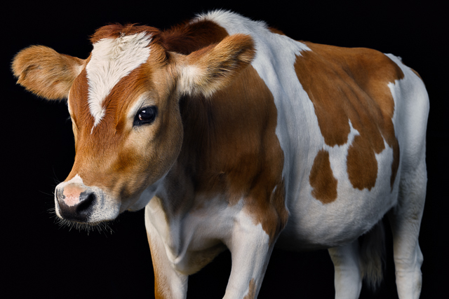 Cow photographed at Asha Farms Animal Sanctuary in Newfane NY