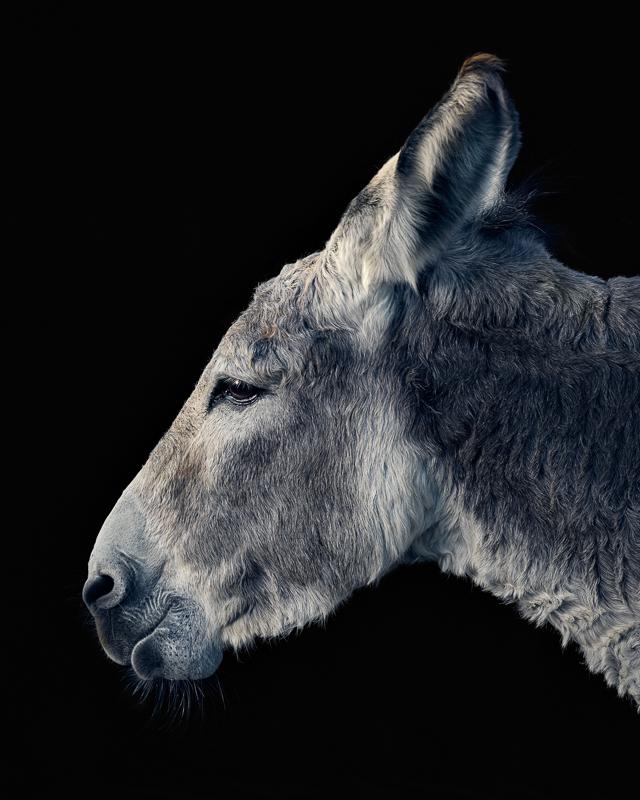 Donkey photographed at Asha Farms Animal Sanctuary in Newfane NY
