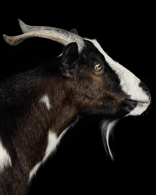 Michael the goat from Asha Sanctuary in Newfane NY