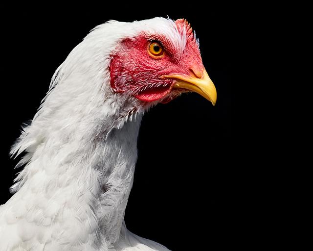 Cornish Game Hen photographed at Asha Farms Animal Sanctuary in Newfane NY