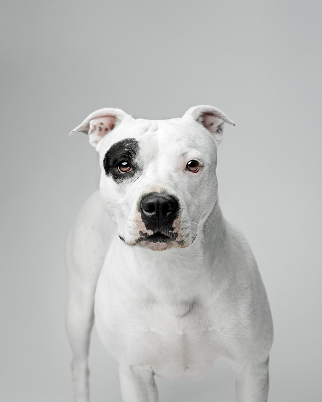 Petunia - An adoptable rescue pit bull from Buffalo, NY. Apx 4.5 years old female.
